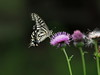 Photo:Asian swallowtail butterfly (アゲハチョウ) on a Japanese thistle flower (ノアザミ) By Greg Peterson in Japan