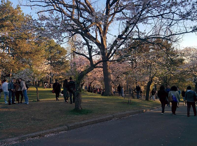 Sakura from the north (5) #toronto #highpark #sakura #cherryblossom #latergram
