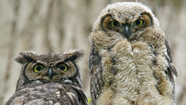 Great Horned Owlet with, Sony ILCA-99M2, Sony 500mm F4 G SSM (SAL500F40G)