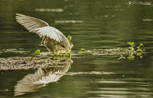 Perfect catch Pond Heron