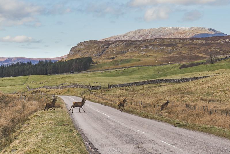 Deers - Scotland 2017