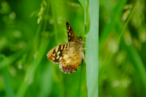 Speckled wood butterfly on grass leaf
