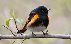 American Redstart [male]