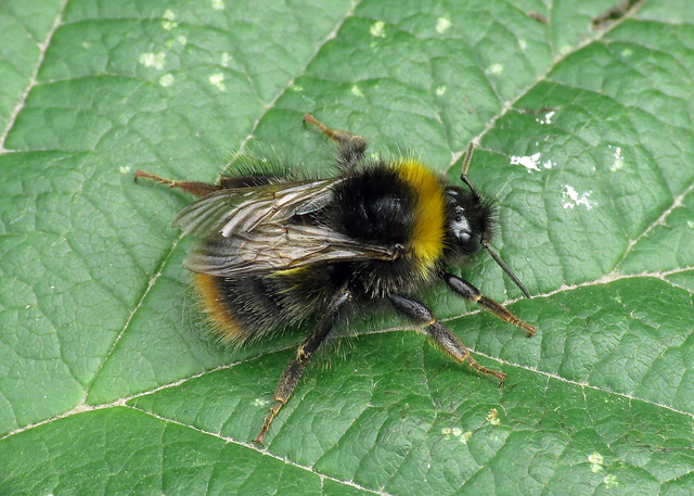 Early Bumblebee - Bombus pratorum