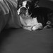 A black and white portrait of a cute one year old Boston Terrier resting on a bed with a big pillow.