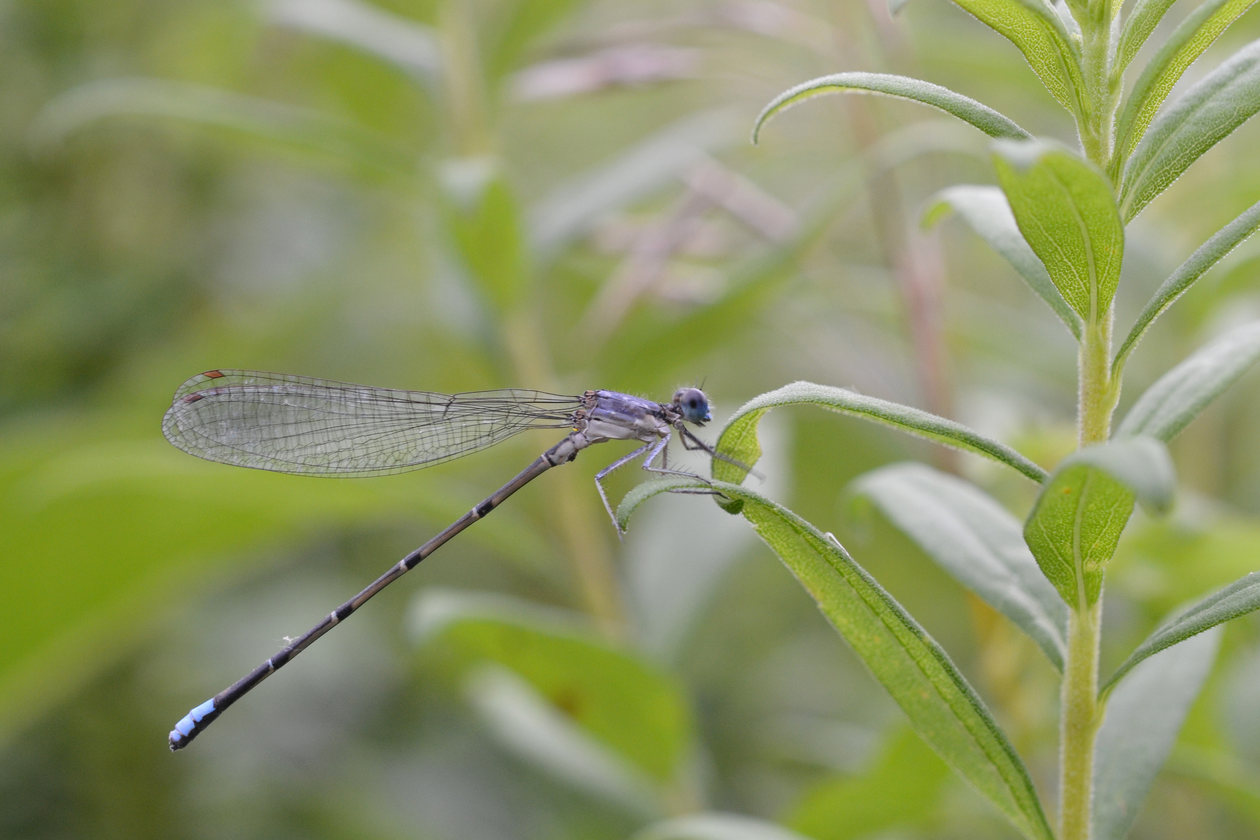 Female blue-fronted_D=dancer_(Argia_apicalis). Photo taken at Rentschler Forest Metropark, Fairfield, Ohio, on August 7, 2014.