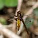 Broad-bodied Chaser -- Libellula depressa ( female )