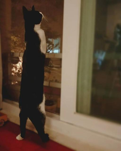 20180612 糖蜜你好高喔 #戴家黑糖蜜 #cats #livingwithcats #我不是鄉民我有50公分