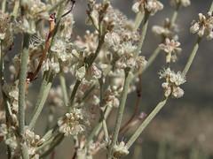 Wyman Creek buckwheat, Eriogonum rupinum