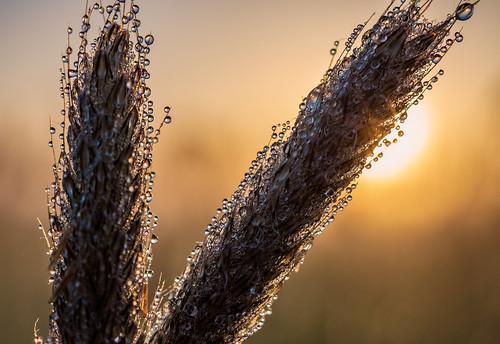 spetisbury england unitedkingdom gb macromondays macromandays macro grass sunrise dewdrops dew pasture allnatural anthonywhitesphotography