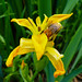Flag iris (and bumblebee), Northycote Farm
