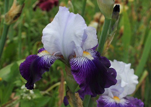 Iris 'Saint-Malo' - R-L. Vasquez-Poupin 2007 28658499098_e14c98d02c