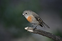 Scarlet Robin-Female