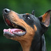 DOBERMANN RESCUE UNITED KINGDOM AND EUROPE REGISTERED CHARITY 1169697 by Gary K. Mann