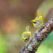 Black-faced warbler (Abroscopus schisticeps) 黑脸鸫莺 hēi liǎn dōng yīng