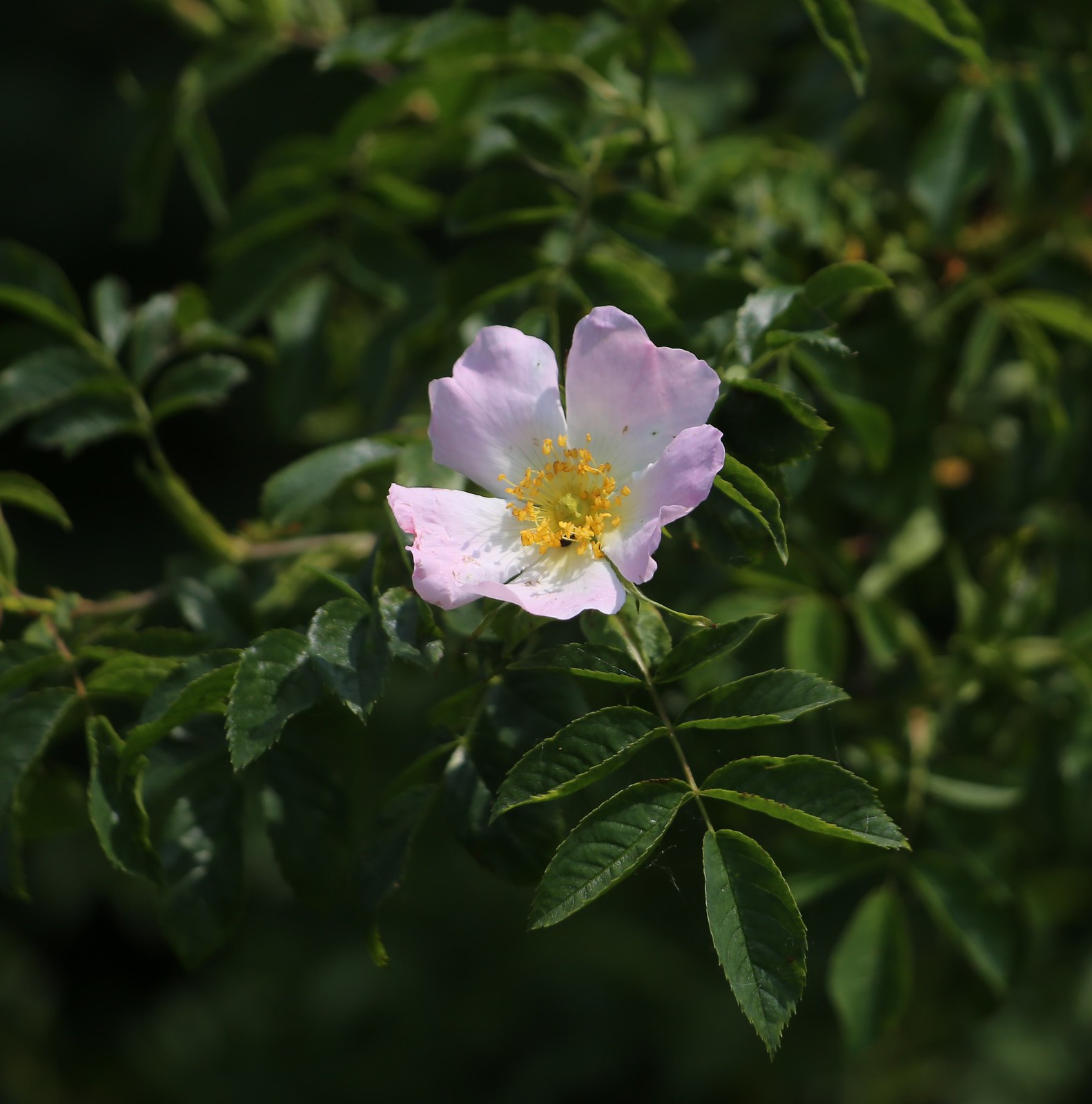 Dog Rose - Otford to Eynsford Walk