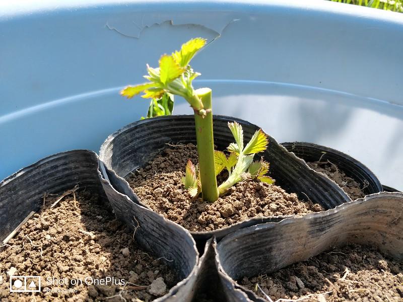 ブラックベリーの苗を作る (7)