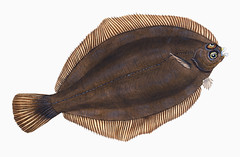 Turbot (Pleuronectes maximus) illustration from The Natural History of British Fishes (1802) by Edward Donovan (1768-1837). Digitally enhanced from our own original edition.