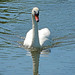 A swan on the River Chelmer, Essex