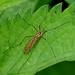 Tiger Cranefly —-- Nephrotoma flavescens