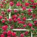 Rose Garden by Brooklyn Botanic Garden