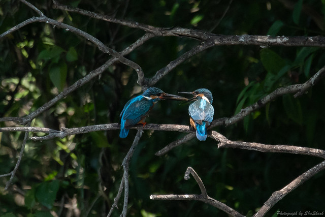 20180602-kingfisher-DSC_3522