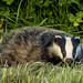 One of the local Badgers by mooncarrot
