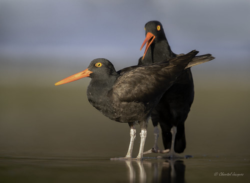 Love on the Brain? Black Oystercatcher, Tofino, BC | by Chantal Jacques Photography