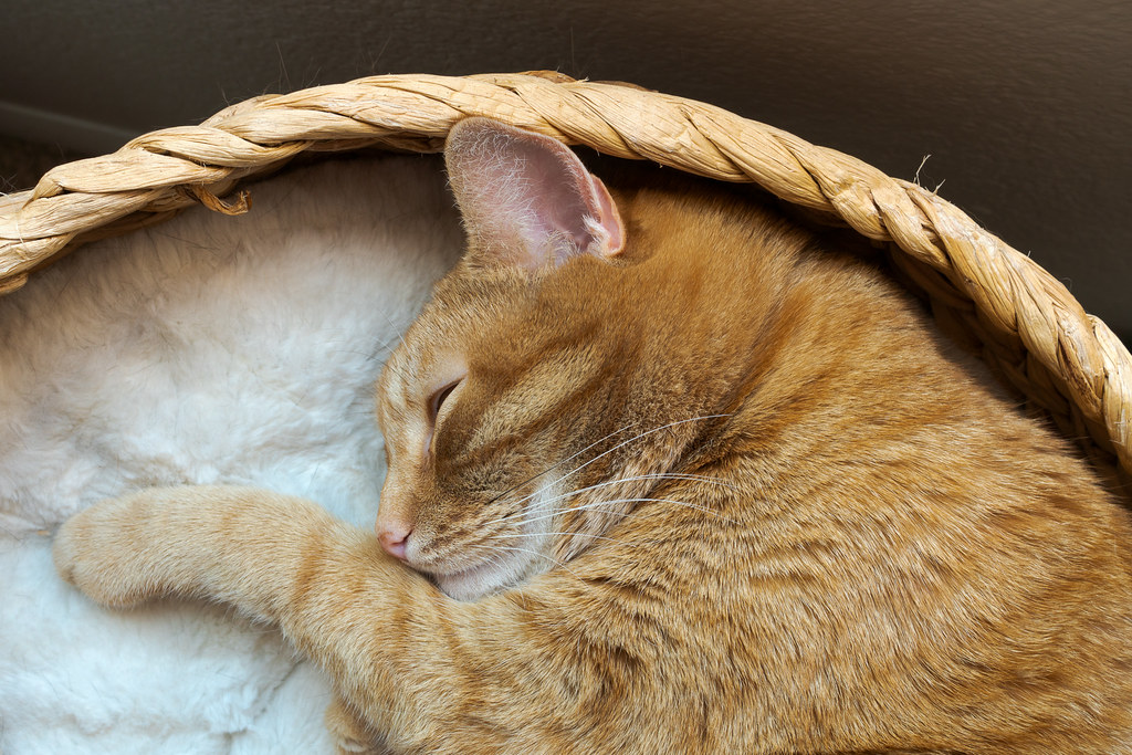 A close-up of our cat Sam as he sleeps curled up in a cat bed