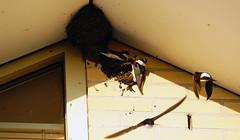 Zwaluw nest.