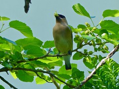 Cedar Waxwing and White Mulberry