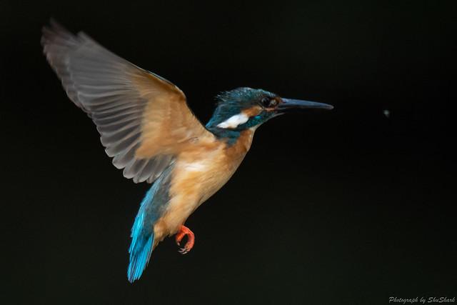 20180602-kingfisher-DSC_4121