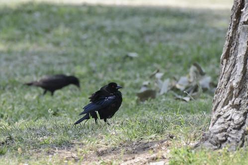 2018 arkalonpark bronzedcowbirdmolothrusaeneus kansas sewardcounty usa