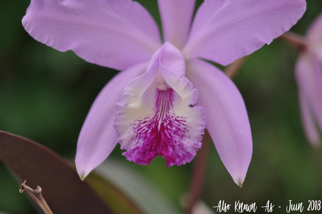Cattleya Holdenii (intermedia x warneri) 42697087981_dea6b7520f_b