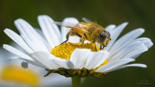 Hover Fly - Syrphidae, Nikon D3300, Sigma Macro 105mm F2.8 EX DG