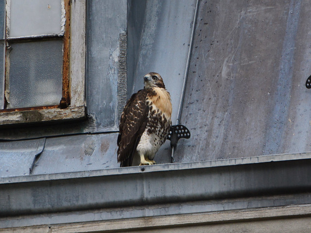 GT Hawk Fledgling 2 - 0937