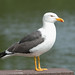 Lesser Black-Backed Gull  46