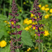 Hedge Woundwort - Stachys sylvatica