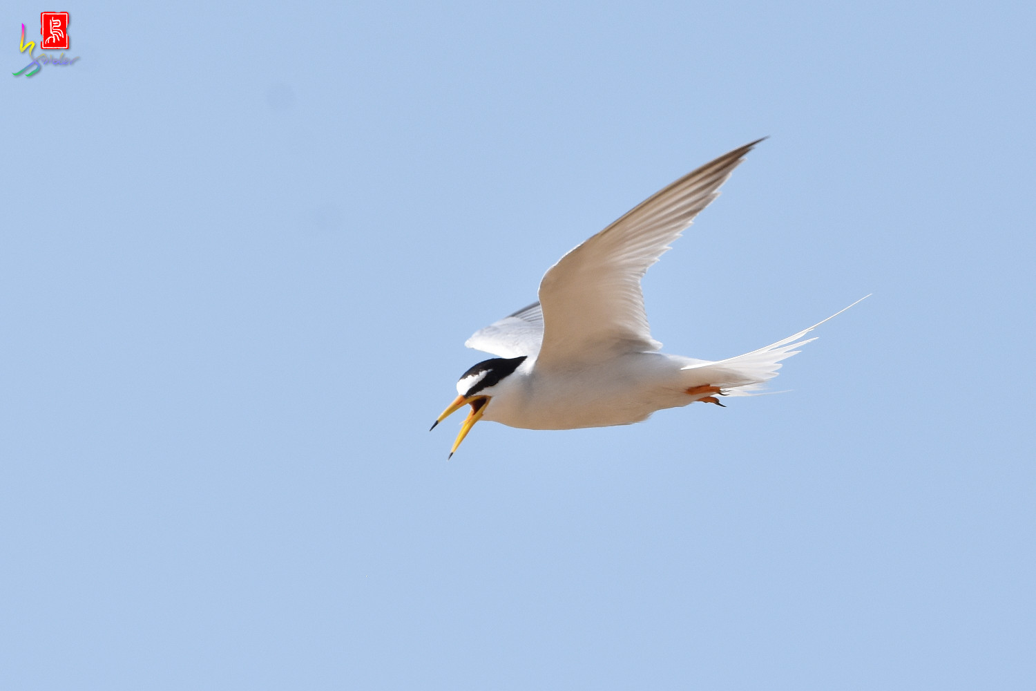 Little_Tern_0113