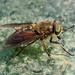 Bright Horsefly - Hybomitra distinguenda