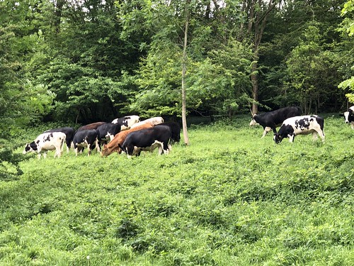 Our missing cows