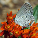 Eastern tailed-blue by mimbrava