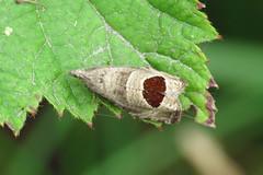 49.294 Bramble Shoot Moth - Notocelia uddmanniana