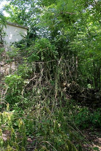 Sambucus nigra et cultivars - sureau noir - Page 3 28549020968_8951a903c2