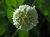 Photo:White clover flowerhead (Trifolium repens, シロツメクサ) By Greg Peterson in Japan