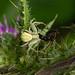 Crab Spider --- Misumena vatia