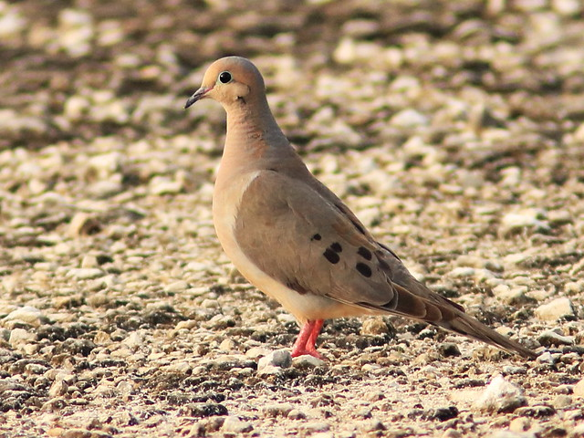 Mourning Dove 20180612