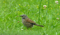 Dunnock (Prunella modularis) - Photo of Fleuré