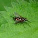 Tachinid Fly —- Mintho rufiventris