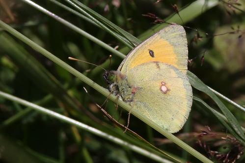 gheorgheni romania butterfly lepidoptera fjäril danubecloudedyellow coliasmyrmidone donauhöfjäril